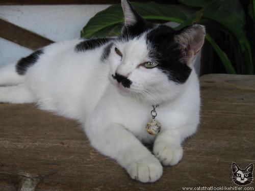 http://www.catsthatlooklikehitler.com/kitler/pics/kitler2844.jpg