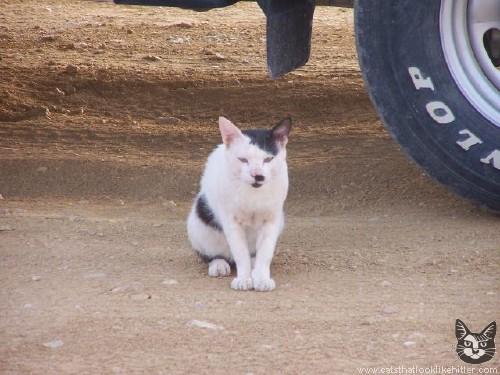 Коты,похожие на Гитлера